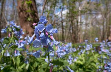 What's in Bloom | Virginia Bluebells