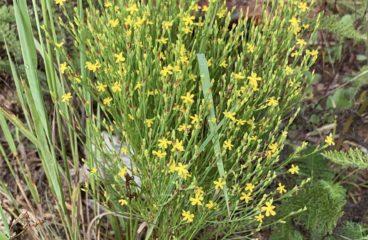 What's In Bloom  |  Orange-grass St. John's Wort