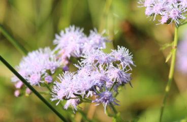 What's in Bloom | Mistflower