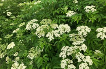 What's in Bloom | Common Elderberry