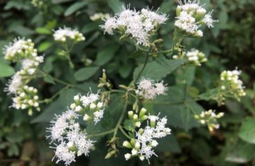 What's in Bloom   White Snakeroot