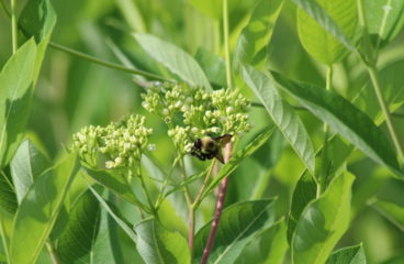 What's in Bloom | Hemp Dogbane