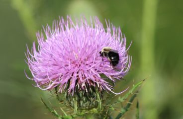 What's in Bloom | Field Thistle