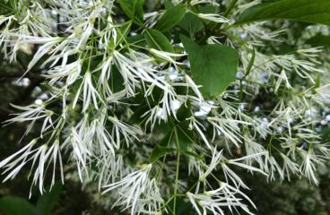 What's In Bloom  |  American Fringetree