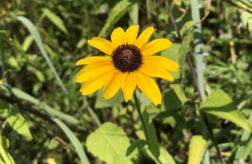 What's in Bloom | Black-eyed Susan