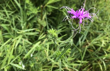 What's in Bloom |Scaly Blazing Star