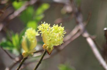 What's in Bloom | Sassafras