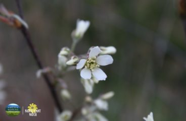 What's in Bloom | Serviceberry