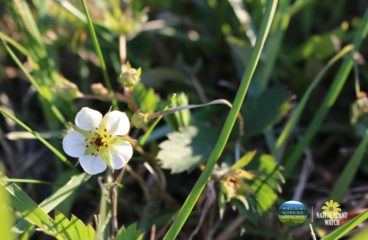 What's in Bloom | Wild Strawberry